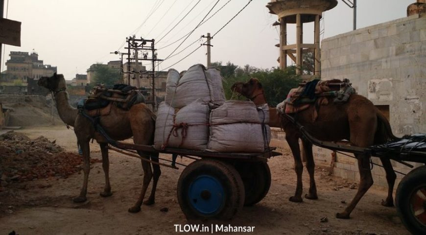 Camels-loaded-with-goods-in-Mahansar